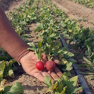 Organic Produce: Radish