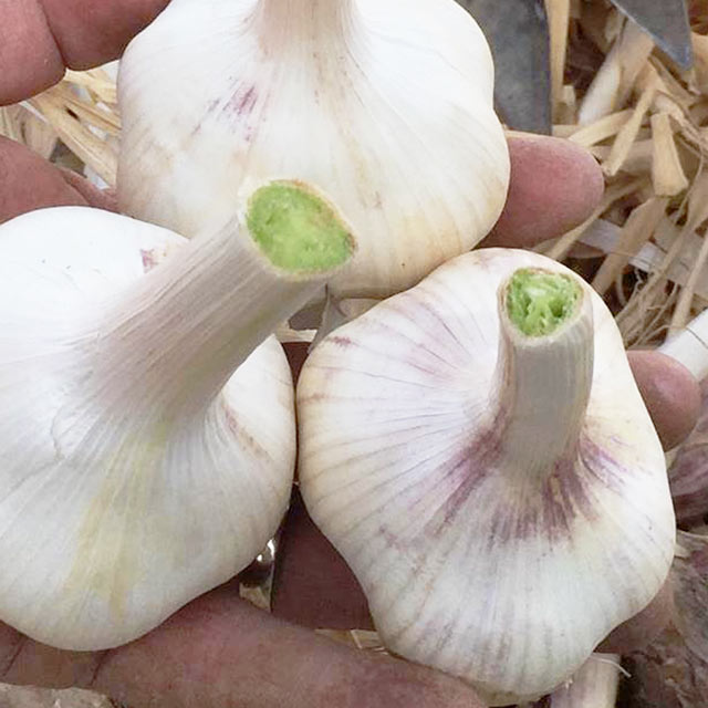 Organic Produce: Garlic