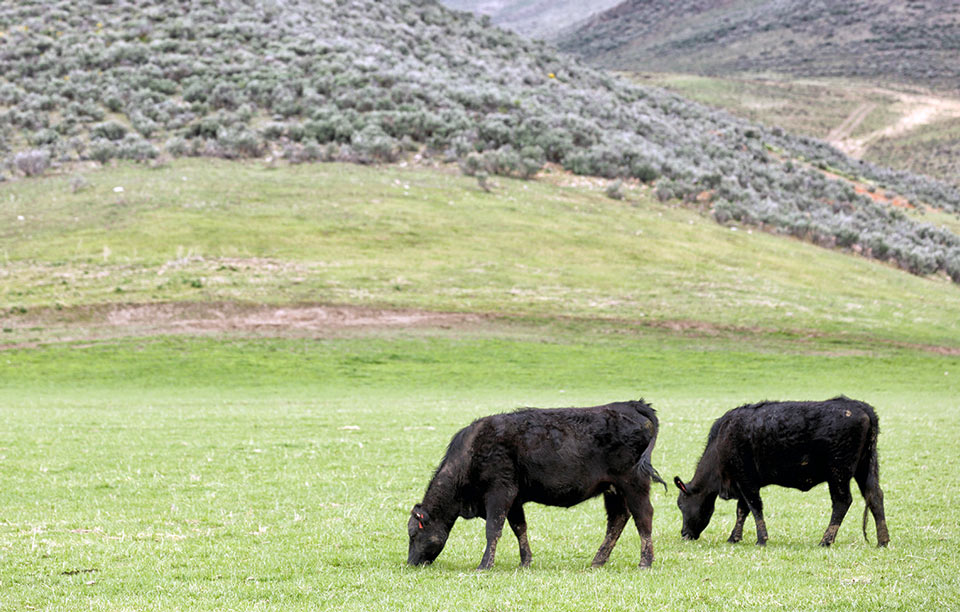 Grass-Fed Angus Cows